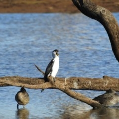 Microcarbo melanoleucos (Little Pied Cormorant) at Gungahlin, ACT - 28 Jul 2017 by Qwerty