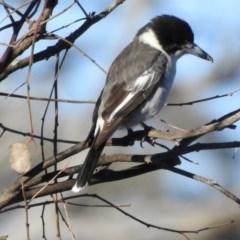 Cracticus torquatus (Grey Butcherbird) at Gungahlin, ACT - 28 Jul 2017 by Qwerty