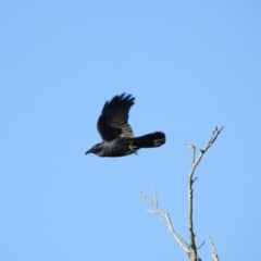 Corvus coronoides (Australian Raven) at Gungahlin, ACT - 28 Jul 2017 by Qwerty