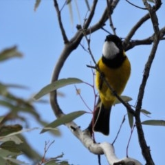 Pachycephala pectoralis (Golden Whistler) at Canberra Central, ACT - 26 Jul 2017 by Qwerty