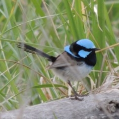 Malurus cyaneus (Superb Fairywren) at Jerrabomberra Wetlands - 10 Oct 2014 by michaelb