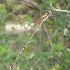 Austrolestes analis (Slender Ringtail) at Conder, ACT - 8 Dec 2015 by michaelb