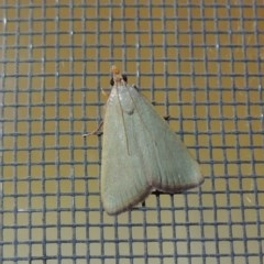 Ocrasa acerasta (A Pyralid moth) at Conder, ACT - 8 Dec 2015 by michaelb