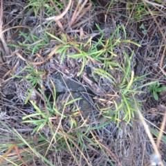 Rutidosis leiolepis (Monaro Golden Daisy) at Cooma Grasslands Reserves - 31 Jul 2017 by GeoffRobertson