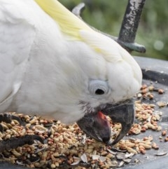 Cacatua galerita (Sulphur-crested Cockatoo) at Higgins, ACT - 31 Jul 2017 by Alison Milton