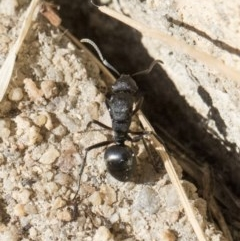 Polyrhachis sp. (genus) (A spiny ant) at Higgins, ACT - 1 Aug 2017 by Alison Milton