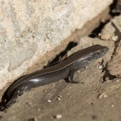 Lampropholis delicata (Delicate Skink) at Higgins, ACT - 1 Aug 2017 by Alison Milton