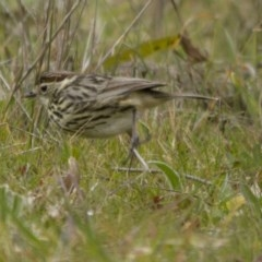 Pyrrholaemus sagittata (Speckled Warbler) at The Pinnacle - 16 Aug 2014 by Alison Milton