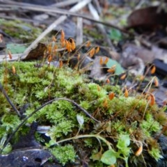 Rosulabryum sp. (A moss) at Aranda Bushland - 1 Aug 2017 by CathB