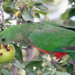 Alisterus scapularis (Australian King-Parrot) at Higgins, ACT - 3 Feb 2008 by Alison Milton