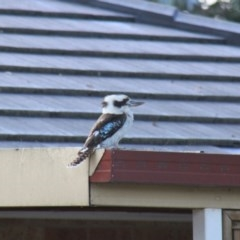 Dacelo novaeguineae (Laughing Kookaburra) at Higgins, ACT - 17 Oct 2010 by Alison Milton