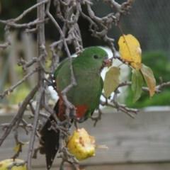 Alisterus scapularis (Australian King-Parrot) at Higgins, ACT - 4 Jun 2011 by Alison Milton