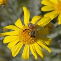 Apis mellifera (European honey bee) at Higgins, ACT - 27 Apr 2013 by Alison Milton