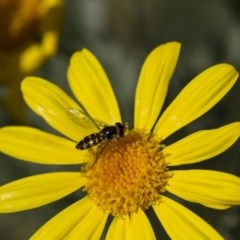 Melangyna viridiceps (Hover fly) at Higgins, ACT - 27 Apr 2013 by Alison Milton