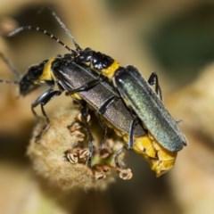 Chauliognathus lugubris (Plague soldier beetle) at Higgins, ACT - 27 Apr 2013 by AlisonMilton