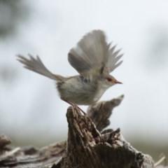 Malurus cyaneus (Superb Fairywren) at Lake Ginninderra - 25 May 2014 by Alison Milton