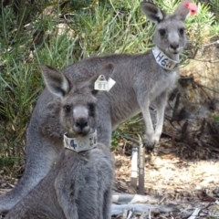 Macropus giganteus (Eastern Grey Kangaroo) at ANBG - 6 Jan 2017 by roymcd