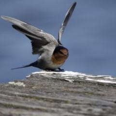 Hirundo neoxena (Welcome Swallow) at Lake Ginninderra - 26 Mar 2016 by Alison Milton