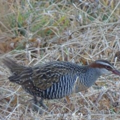 Hypotaenidia philippensis (Buff-banded Rail) at Jerrabomberra Wetlands - 25 Jul 2017 by roymcd