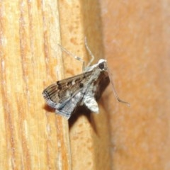 Nacoleia rhoeoalis (A Pyralid Moth) at Conder, ACT - 19 Mar 2015 by michaelb