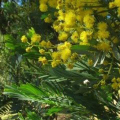 Acacia blayana (Blays Wattle) at Brogo, NSW - 5 Aug 2017 by JackieMiles