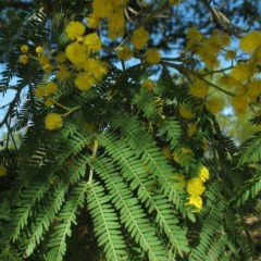 Acacia silvestris (Bodalla Silver Wattle) at Brogo, NSW - 5 Aug 2017 by JackieMiles