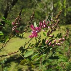 Indigofera australis subsp. australis (Austral Indigo) at Brogo, NSW - 5 Aug 2017 by JackieMiles