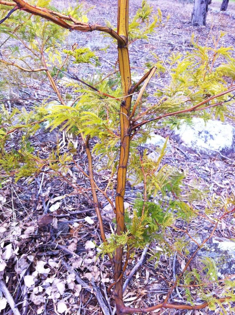 Acacia decurrens at Hughes Garran Woodland - 3 Aug 2017