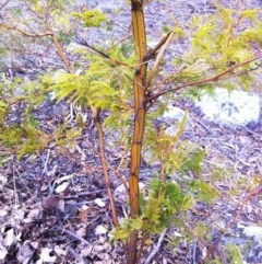 Acacia decurrens (Green Wattle) at Garran, ACT - 2 Aug 2017 by ruthkerruish