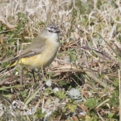 Acanthiza chrysorrhoa (Yellow-rumped Thornbill) at Higgins, ACT - 5 Aug 2017 by Alison Milton