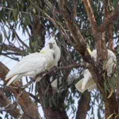 Cacatua galerita (Sulphur-crested Cockatoo) at Higgins, ACT - 6 Aug 2017 by Alison Milton
