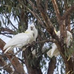 Cacatua galerita (Sulphur-crested Cockatoo) at Higgins, ACT - 6 Aug 2017 by Alison Milton