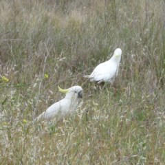 Cacatua galerita (Sulphur-crested Cockatoo) at Hughes Garran Woodland - 11 Nov 2011 by ruthkerruish