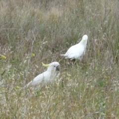 Cacatua galerita (Sulphur-crested Cockatoo) at Hughes Garran Woodland - 11 Nov 2011 by ruthkerruish