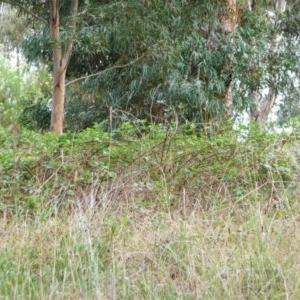 Rubus anglocandicans at Hughes Garran Woodland - 25 Jan 2012