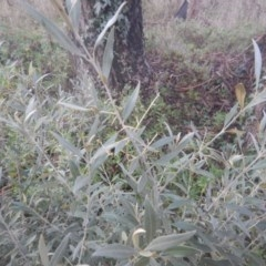 Olea europaea subsp. cuspidata (African Olive) at Mawson, ACT - 7 Aug 2017 by MichaelMulvaney