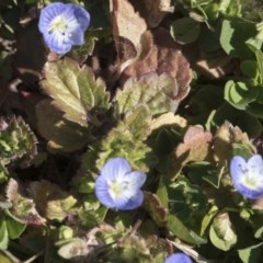 Veronica persica (Creeping Speedwell) at Higgins, ACT - 8 Aug 2017 by Alison Milton
