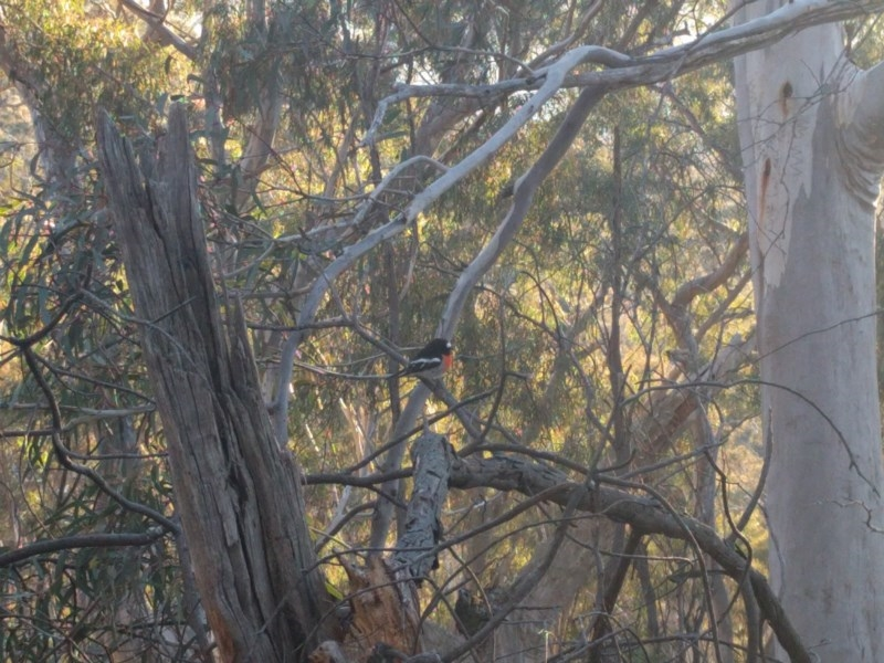 Petroica boodang at Mount Ainslie - 9 Aug 2017