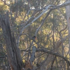 Petroica boodang (Scarlet Robin) at Mount Ainslie - 9 Aug 2017 by WalterEgo