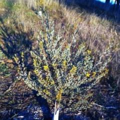 Acacia buxifolia subsp. buxifolia at Hughes Garran Woodland - 9 Aug 2017