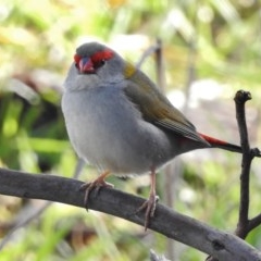 Neochmia temporalis (Red-browed Finch) at Jerrabomberra Wetlands - 10 Aug 2017 by JohnBundock