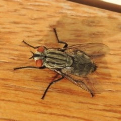 Sarcophagidae sp. (family) (Unidentified flesh fly) at Conder, ACT - 30 Mar 2015 by michaelb