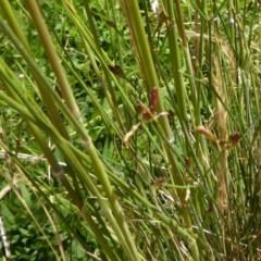 Austrostipa densiflora at Sth Tablelands Ecosystem Park - 27 Nov 2016