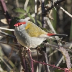Neochmia temporalis (Red-browed Finch) at Jerrabomberra Wetlands - 11 Aug 2017 by Alison Milton