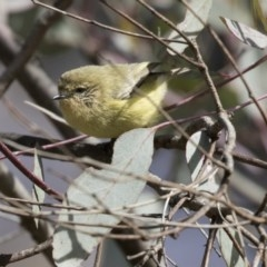 Acanthiza nana (Yellow Thornbill) at Jerrabomberra Wetlands - 11 Aug 2017 by Alison Milton