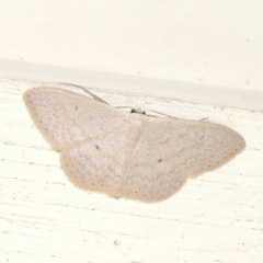Scopula optivata (Varied Wave) at Conder, ACT - 5 Apr 2015 by michaelb