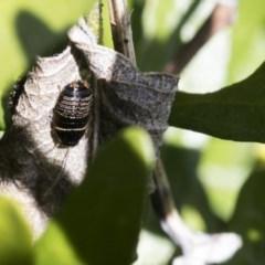 Ellipsidion australe (Austral Ellipsidion cockroach) at Higgins, ACT - 12 Aug 2017 by AlisonMilton