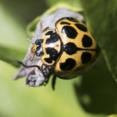 Harmonia conformis (Common Spotted Ladybird) at Higgins, ACT - 12 Aug 2017 by Alison Milton