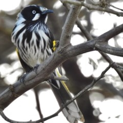 Phylidonyris novaehollandiae (New Holland Honeyeater) at Jerrabomberra Wetlands - 10 Aug 2017 by JohnBundock