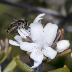 Melangyna viridiceps (Hover fly) at Higgins, ACT - 12 Aug 2017 by Alison Milton